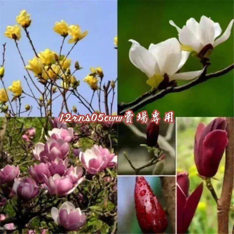 (現貨秒發):玉蘭花種子 園林庭院喬木綠化 芳香花卉 易種易活 紅玉蘭/白玉蘭/廣玉蘭