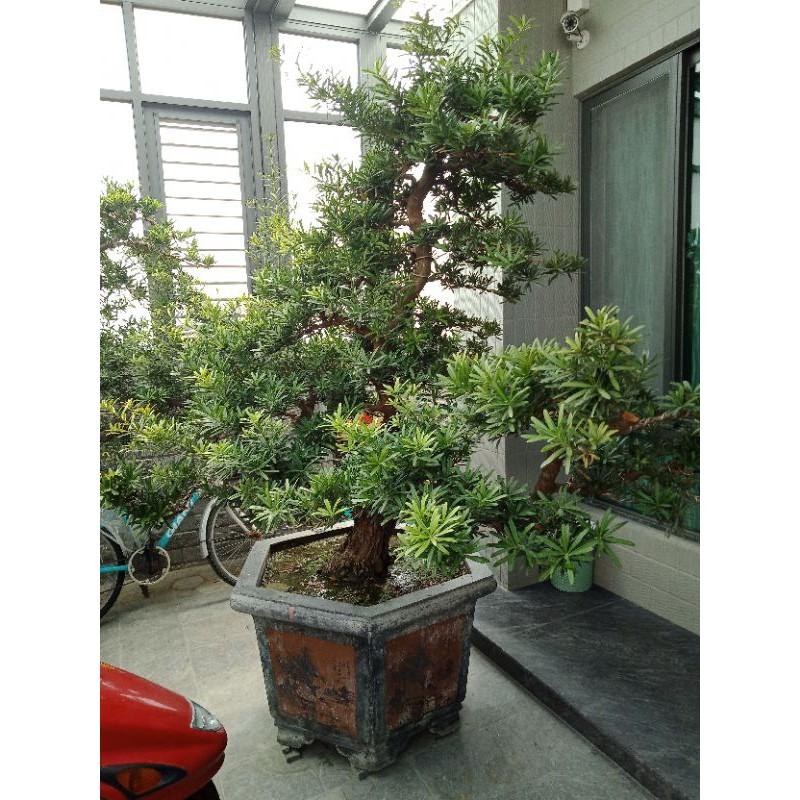 羅漢松 庭園造景 2米高 含植盆