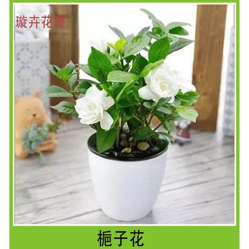 ☀XM  梔子花種子 多色梔子花 四季開花種籽子 花香濃鬱 易栽好活 易活室內盆栽花種子