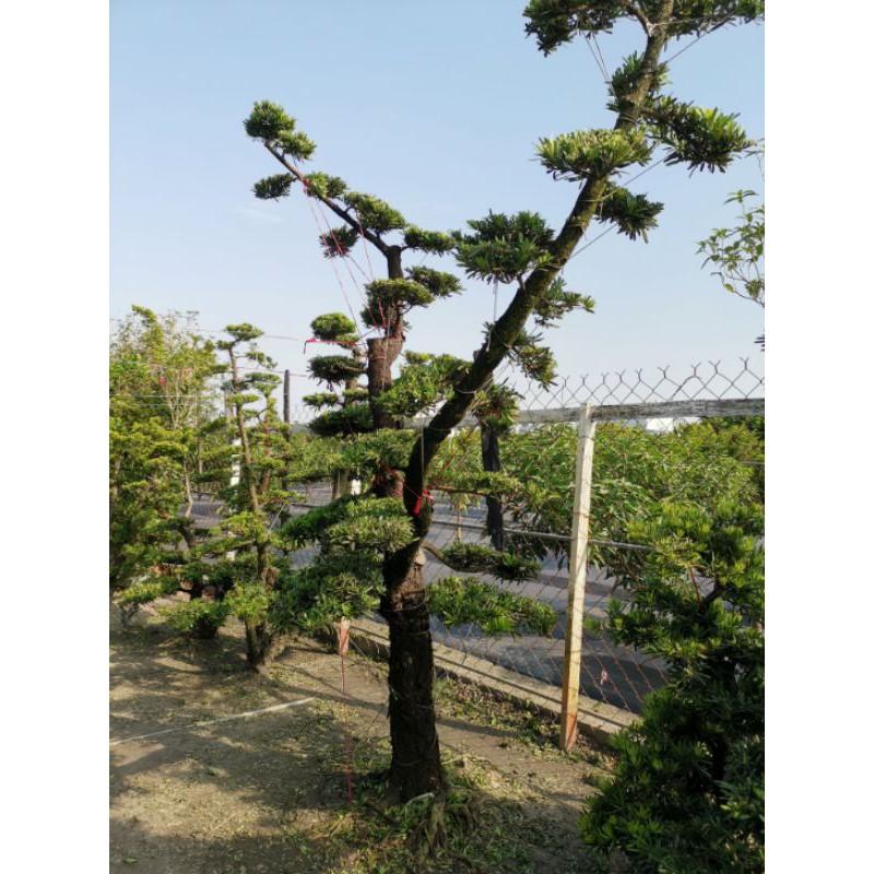 【samgreen♡造型羅漢松成樹】直徑15-20cm/高度2-3米/20年份
