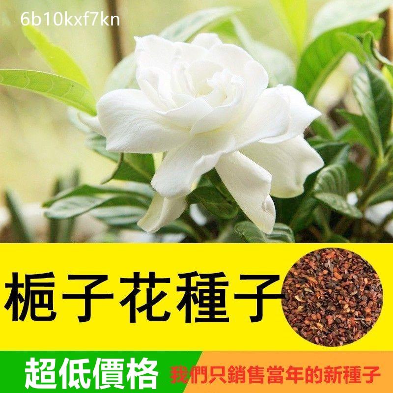 梔子花花種子 四季種易種活 大葉梔子花種子 小葉梔子花種子 黃色梔子花種子