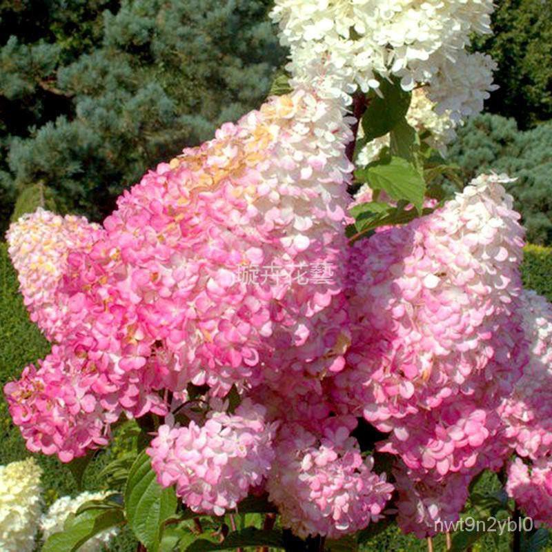繡球花種子 新手易種 繡球花種籽 四季易活花籽 室內盆栽花卉種子庭院觀賞花卉 花卉種子