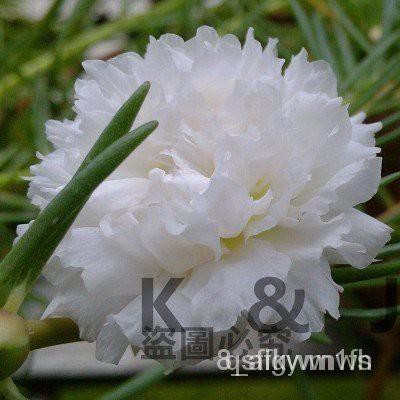 夯全網最多款重辦太陽花種子松葉牡丹種子四季種植花卉種子k&j
