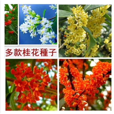 四季可種 13款 桂花 種子大全 沙藏 桂花樹 種子 桂花種子發芽成活率高達99趴