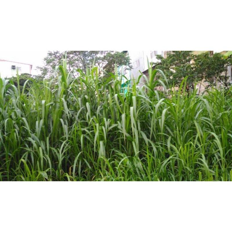 無農藥新鮮牧草狼尾草用於宮廟牧草袋裝不剪切,每100g價格, 天竺鼠,梅花鹿,兔子,烏龜,水豚愛吃。