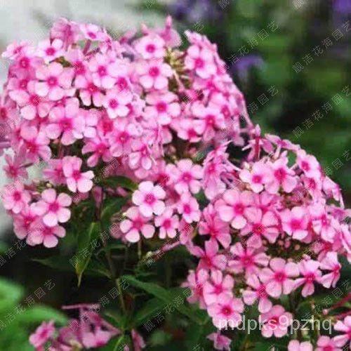 繡球花種子 福祿考種子 芝櫻花卉種子 小天藍繡球 耐寒草本 花卉種子 花卉種籽