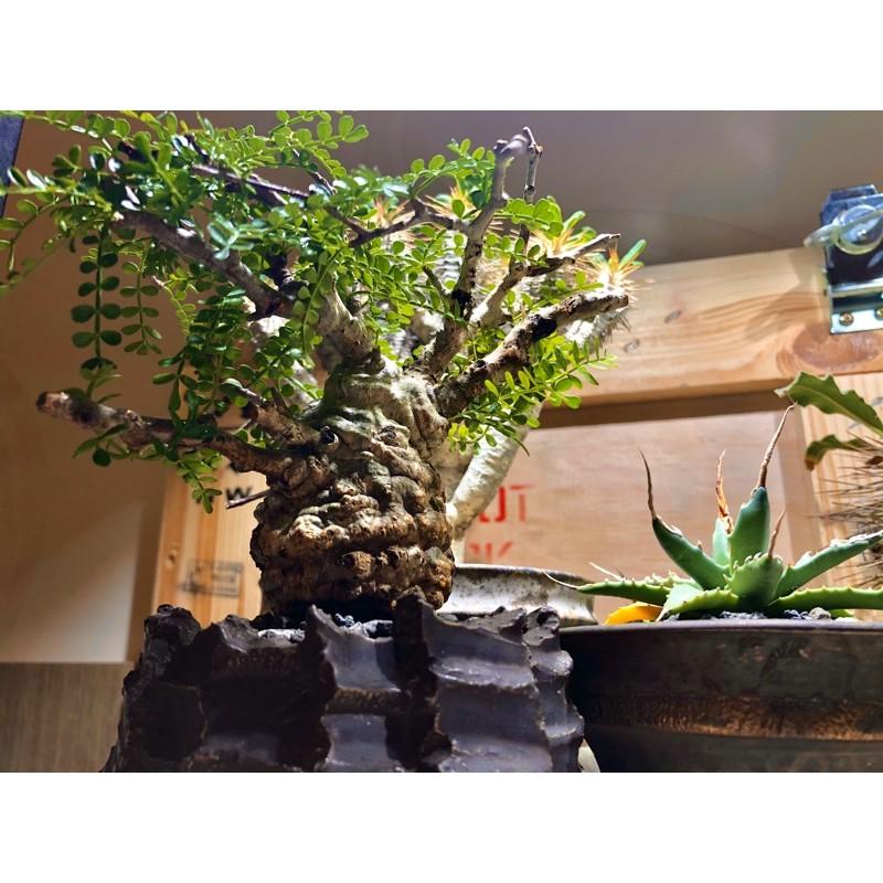 原產 象足漆樹 象足漆 象牙宮 塊根植物