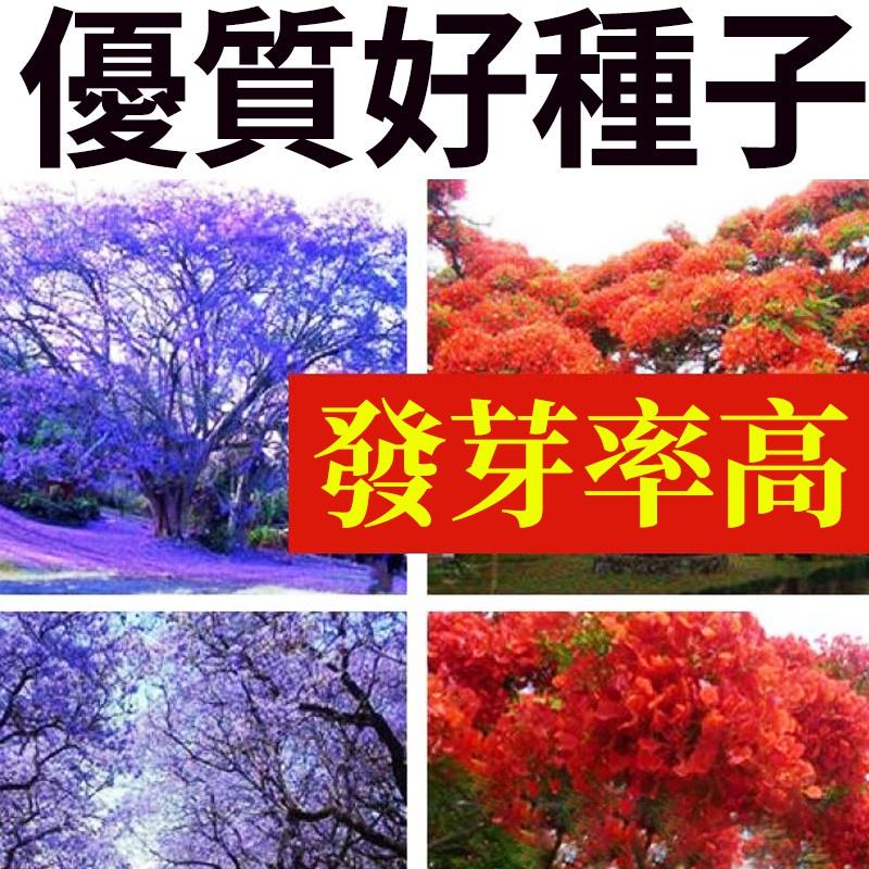【安安■◇→專賣店】藍花楹種子樹種子紅花楹種子 藍霧樹紫花雲洋楹 藍花楹種籽