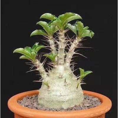塊根 白馬城 pachypodium saundersii種子5粒