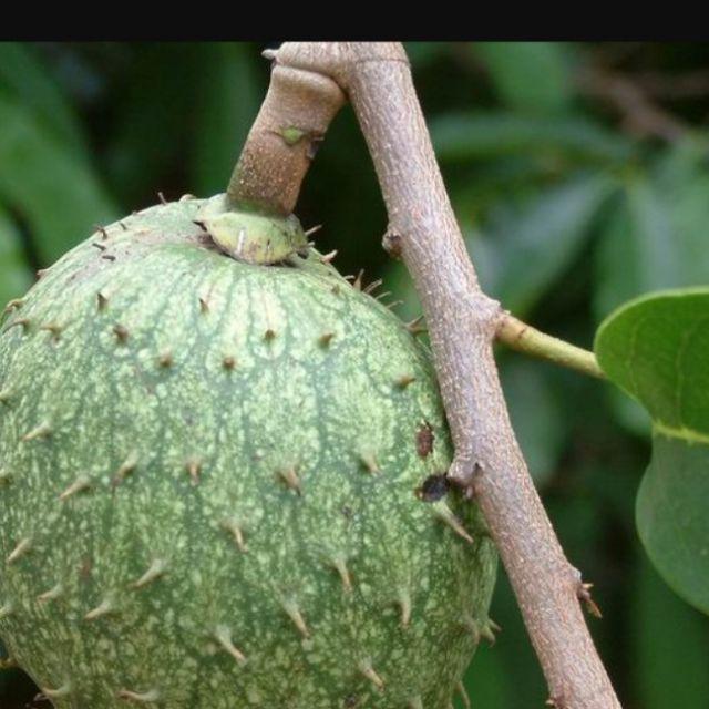 山刺番荔枝(羅李亮果)  (4棵=$300)果可食,台灣中南部可栽種,實生苗高40公分。
