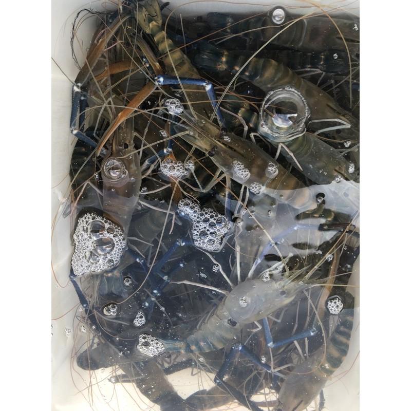 (八斤免運下標區)活跳跳泰國蝦,急速冷凍真空包裝,中大蝦一斤約6-10隻、可提供活凍影片,也可自取,自取是活蝦不用活凍喔