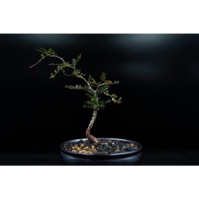 [Gu plant]象足漆樹(Operculicarya pachypus)