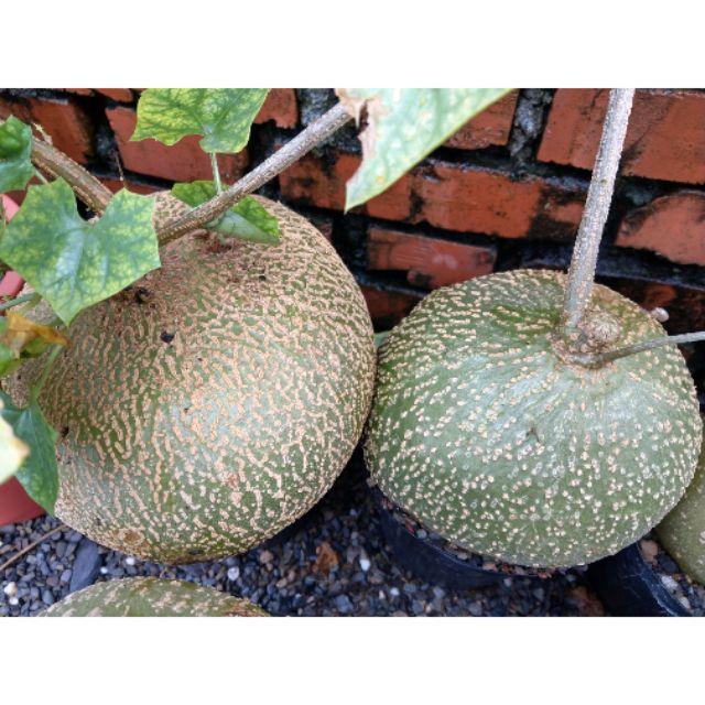 銀葉睡布袋 (Gerrardanthus macrorrhizus)塊根種子,新鮮自產,非進口種子