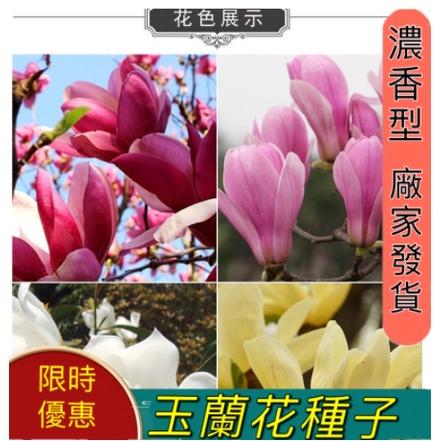 當季新籽玉蘭花種子 四季開花大型庭院 紅黃白紫玉蘭花種子 廣玉蘭花 白蘭花種子