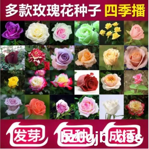 ✸卍▼玫瑰種子 玫瑰花種籽 玫瑰花種子 發芽率高達99% 限時搶購