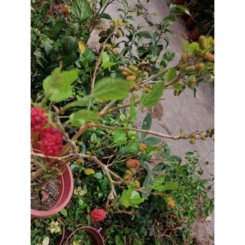 超級會生果實的桑椹樹便宜賣優惠超商取貨免運費高度約有45公分好種植喜歡全日照