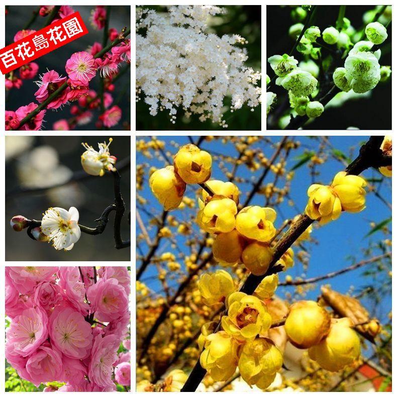 臘梅種子 梅花種子 多款梅花種子