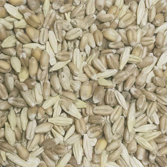 小麥草種子 大麥草種子  貓草 兔草 鼠草 倉鼠飼料 穀物