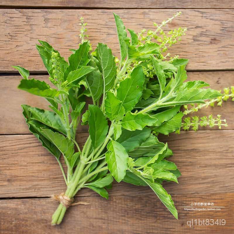 花芊草園藝【種子】 香草 一年生 可食用 聖羅勒  泰國風味兒 打拋甲拋 10粒