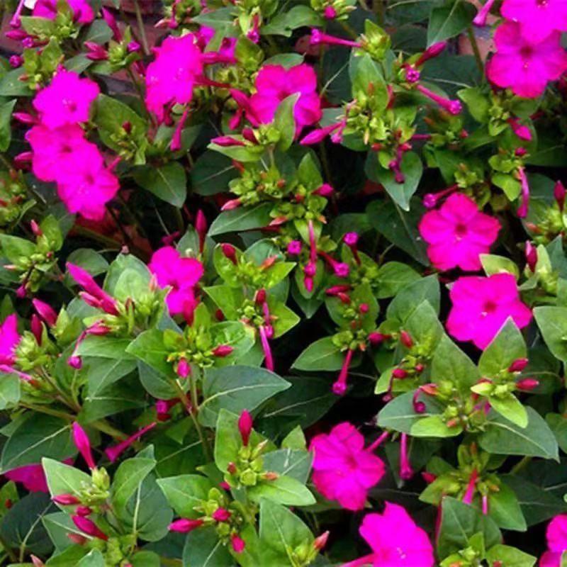 蟲蟲花藝-紫茉莉花種子 驅蚊蟲茉莉花種子