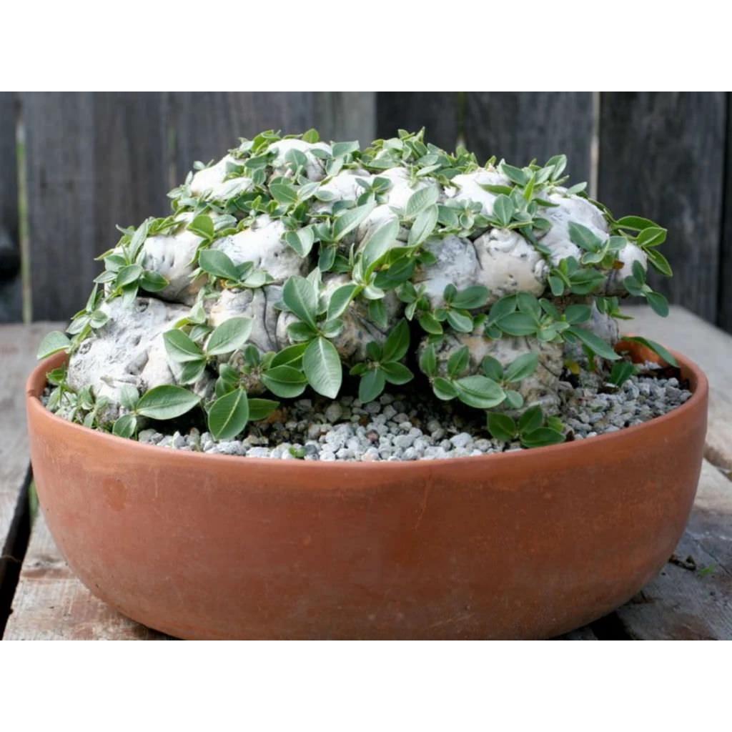 白花惠比須笑 Pachypodium brevicaule 夾竹桃科 稀有 塊根種子