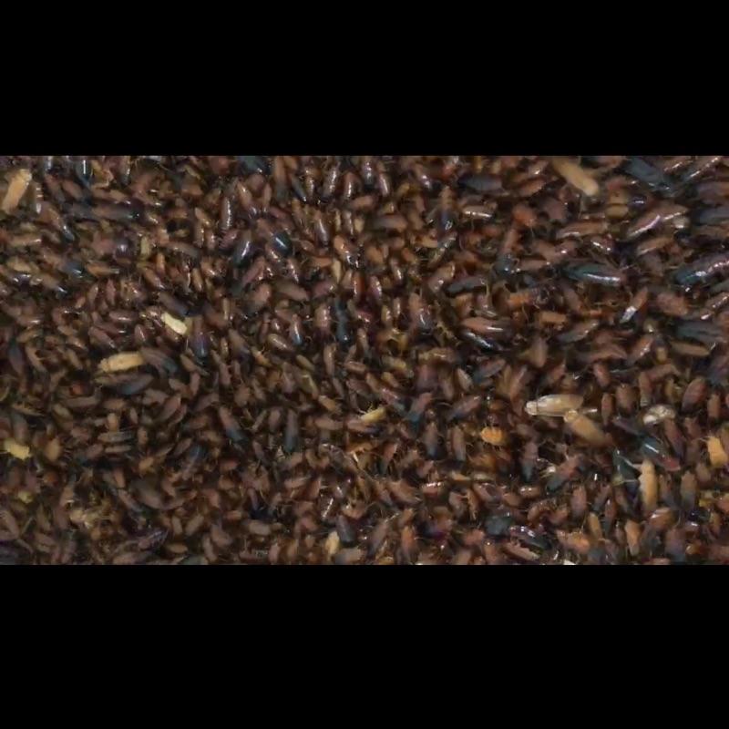 自家繁殖 櫻桃紅蟑 櫻桃蟑螂 活體 寵物飼料 爬蟲飼料