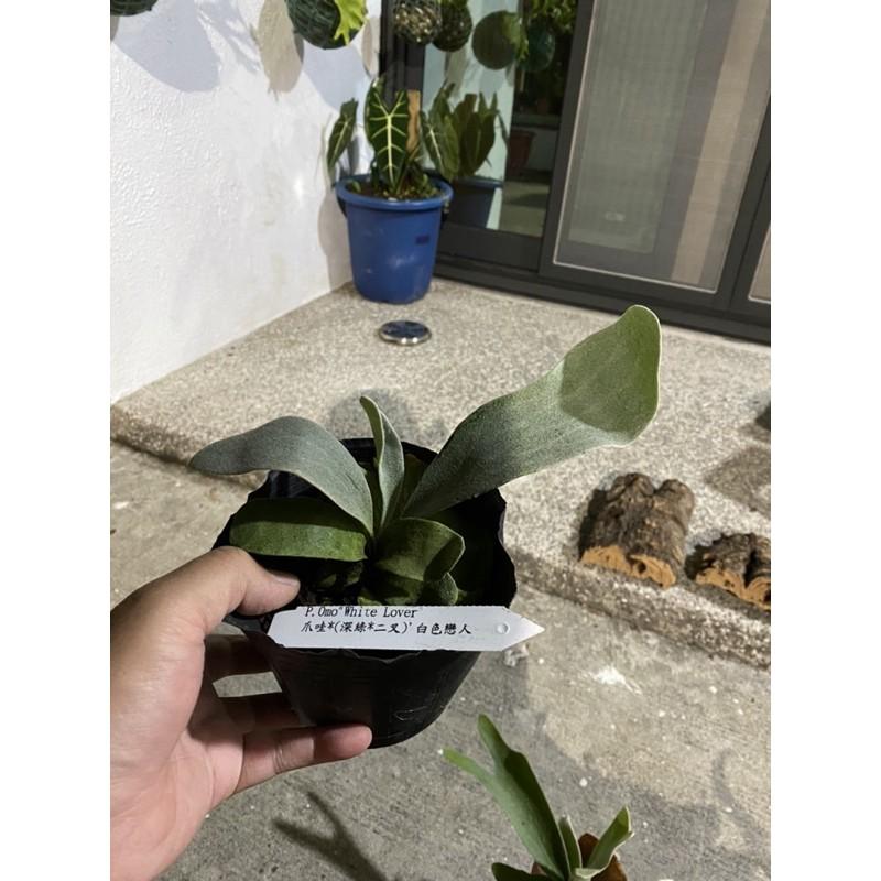 鹿台植男Fern gentle 🌈[陽台鹿角蕨販售] [蕨類植物]  品名:OMO文青室內擺設必備 鹿角蕨麋齒羊角