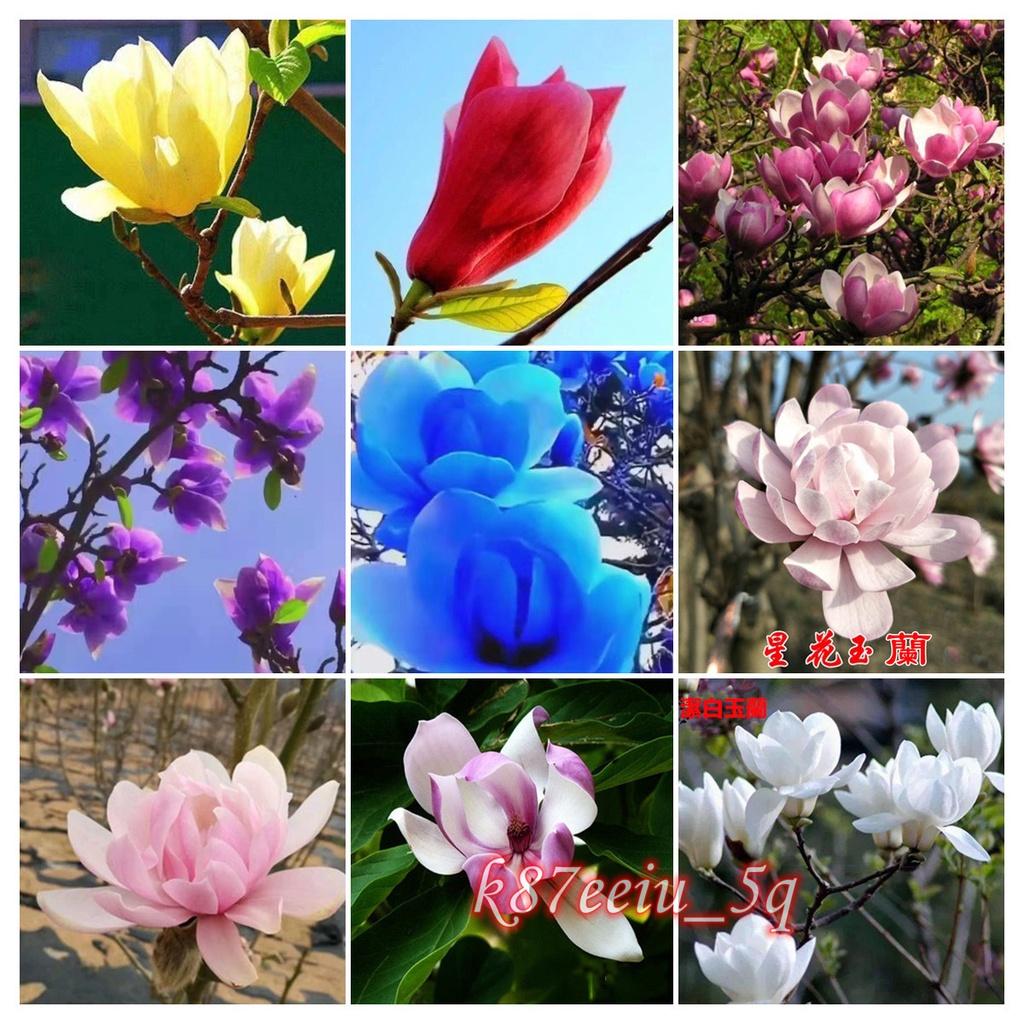 玉蘭花種子 白玉蘭 廣玉蘭 開花植物 香花植物種子