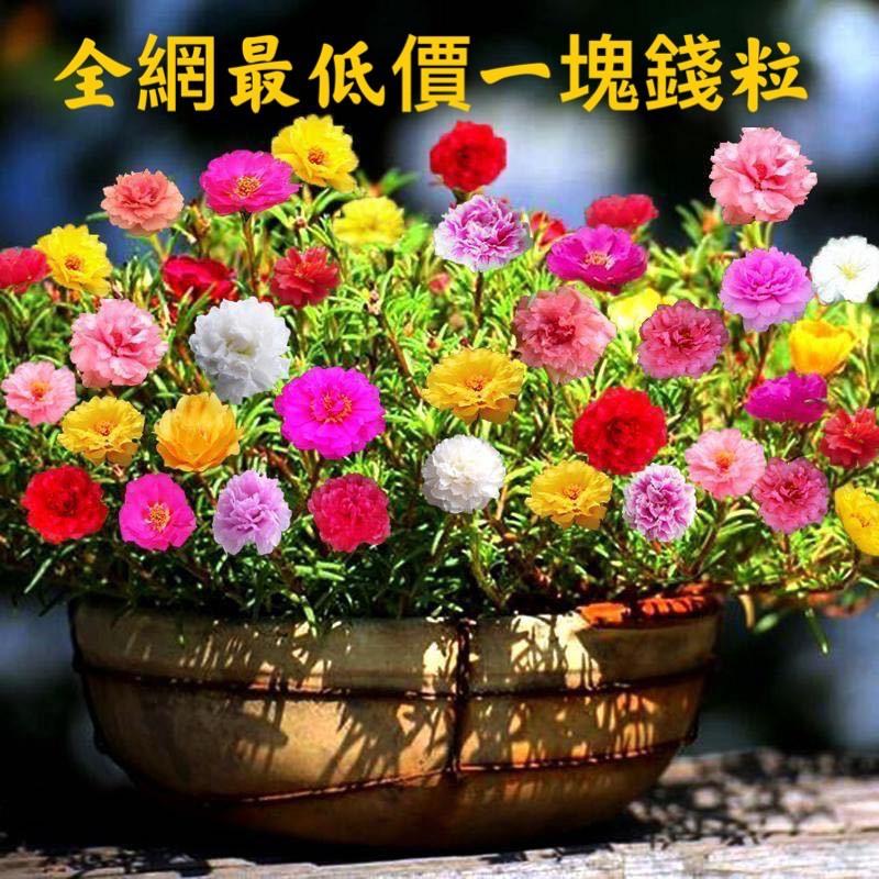 精選特賣一塊錢粒~太陽花花種子四季盆栽易活易種
