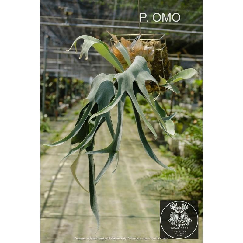[蕨的想買就買] P.omo  白色戀人(TC)組培苗 鹿角蕨