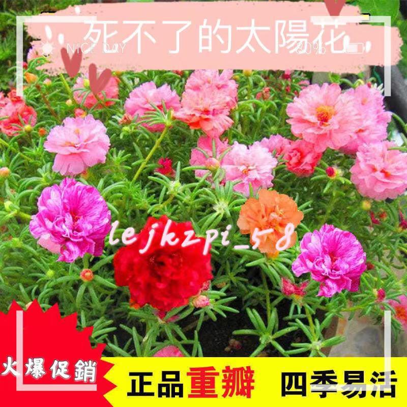 重辦太陽花種子 太陽花種籽 多款超低價 室內種植 易種易活