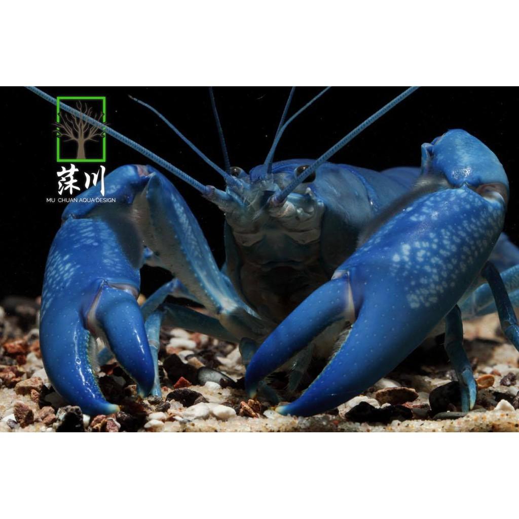 《莯川》澳洲純藍螯蝦 純藍螯蝦  螯蝦 活餌飼料