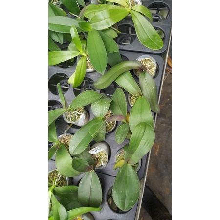 Phal stuartiana 黃花 實生苗 通風明亮的環境即可栽培良好