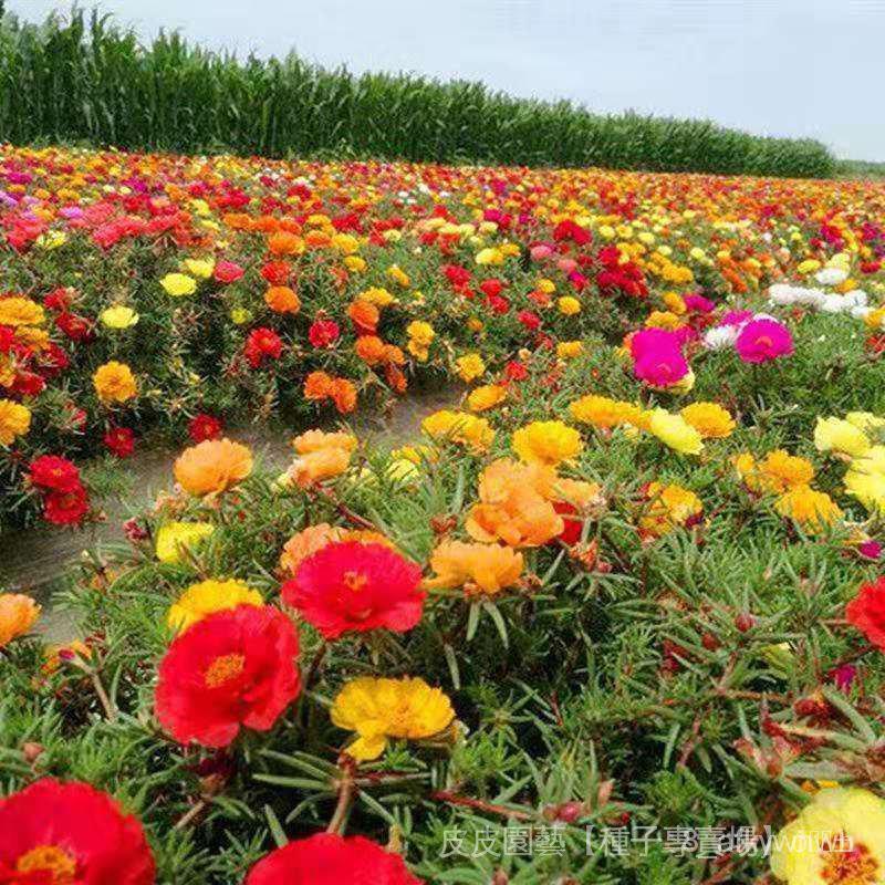 全網最多款種子夯太陽花種子原包裝重瓣太陽花種子四季易種花卉陽臺盆栽鮮花種子 QjMc