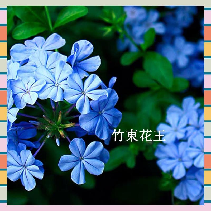 藍雪花 開花植物 觀花植物 一年到頭都開花不斷 草花植物 種子 發芽率99%