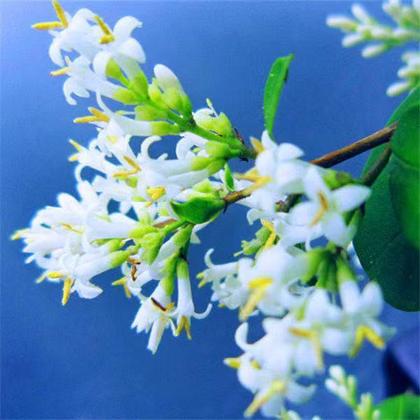 四季常青桂花種子 多款桂花種子 新手推薦 桂花 種子