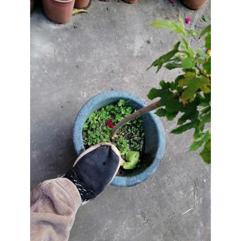 很會生果實的桑椹樹 高度約有65公分 好種植喜歡全日照便宜賣390元郵局免運費