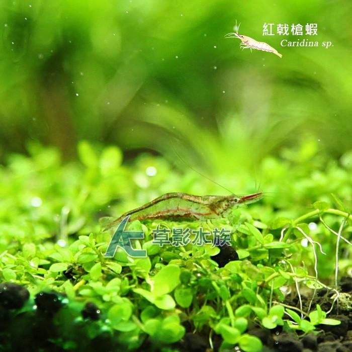 【AC草影】紅戟槍蝦【十一隻】琉璃蝦 24K金背黃金米蝦 飼料/活餌