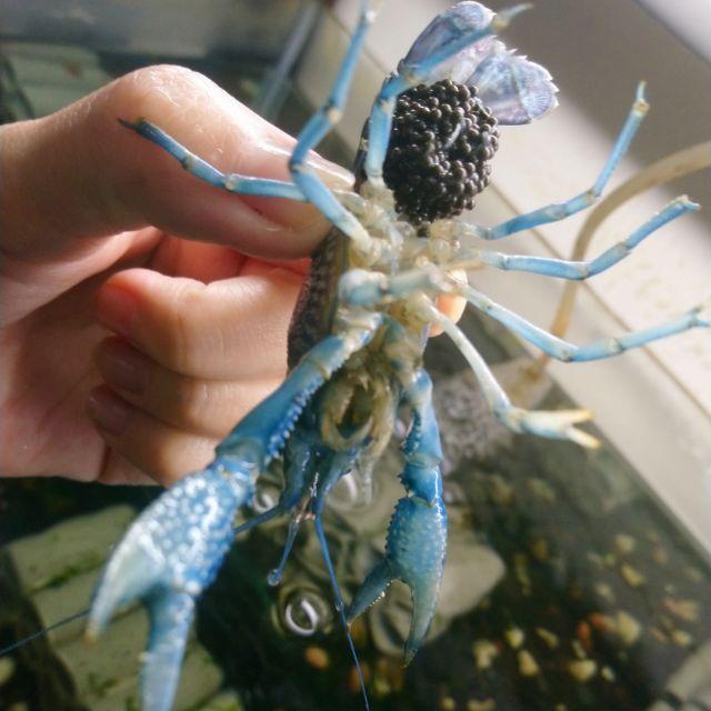(缺貨中)飼料~佛羅里達藍螯蝦約2~3公分