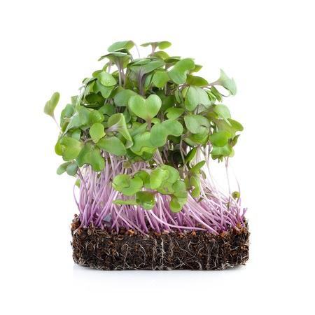 【268菜園】Microgreens苗菜種子-羽衣甘藍