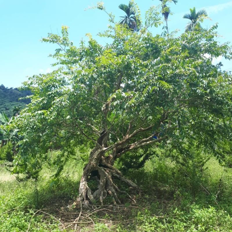 九芎樹 自售 樹在南投山區