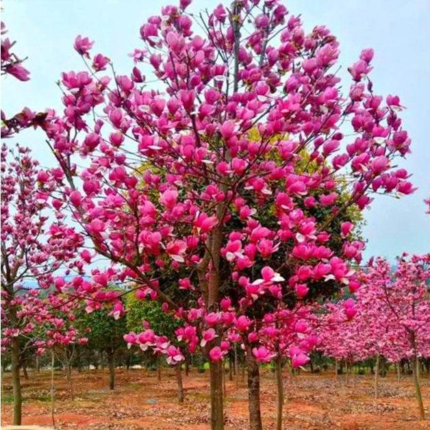 玉蘭花種子 玉蘭種子 四季山玉蘭 白玉蘭 紅玉蘭 廣玉蘭種子 辛夷種子