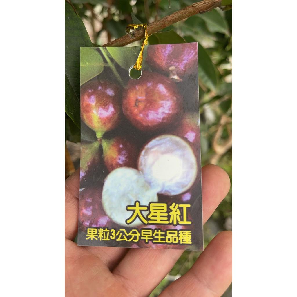 台南園藝 大星紅 艾斯卡 奧斯卡  樹葡萄 嘉寶果 1尺袋 早生種  果實大 已能結果 <需用貨運>