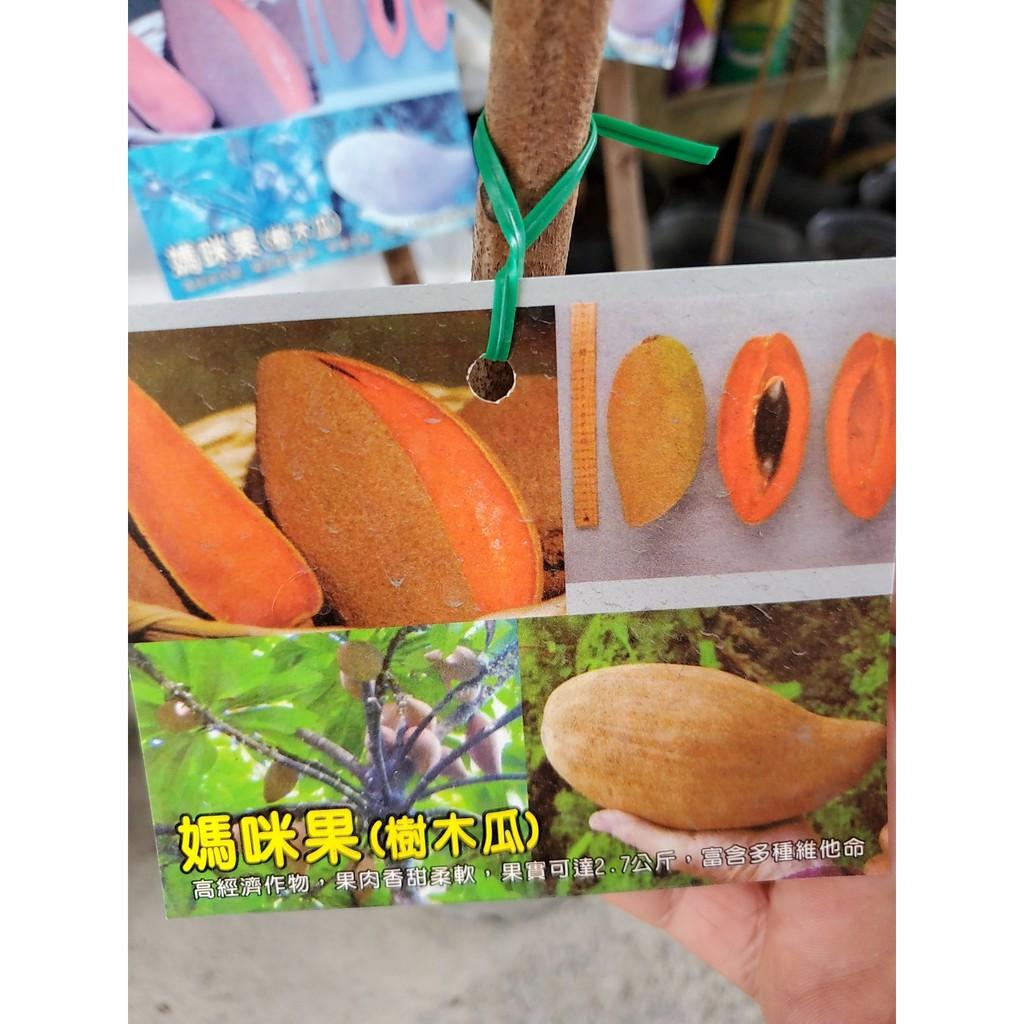 李家果苗 麻美果 樹木瓜 媽咪果 高壓苗 潘婷品種 高度50公分 單價2000元 買3棵免運費