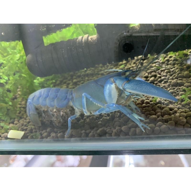 純藍螯蝦「仔」「對蝦」