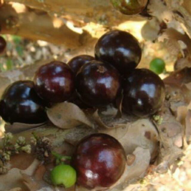 限已預購下單.現採即出 樹葡萄   大果果實,送禮大方。