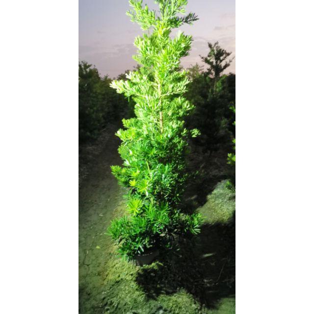 【samgreen♡蘭嶼羅漢松】高1.5m/直徑3-5cm/圍牆用樹/防風抗鹽/枝葉翠綠