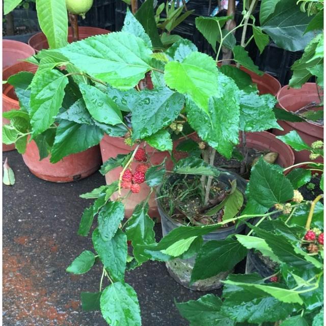大桑椹樹.多生種.高約45公分,實際商品