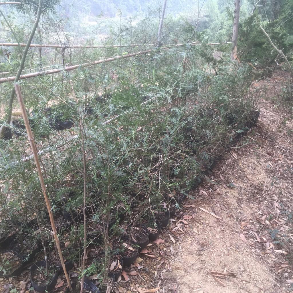 國寶樹~~紅豆杉~~樹苗
