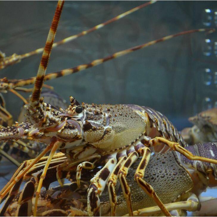 孟嫻水產 冷凍非活體澳洲大龍蝦 一隻500-550g(青龍)